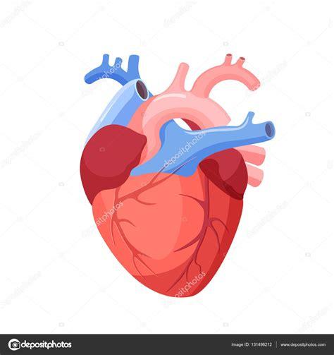 imagenes de corazones organo anatom 237 a coraz 243 n aislado 211 rgano muscular en humanos