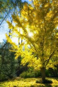 martha moments the ginkgo tree