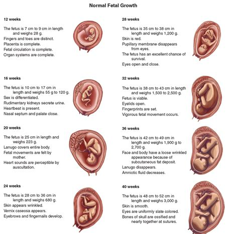 pregnancy stages stages of pregnancy development