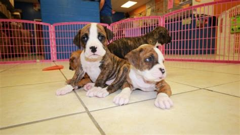 puppies for sale in ga huggable boxer puppies for sale in atlanta ga at puppies for sale local breeders