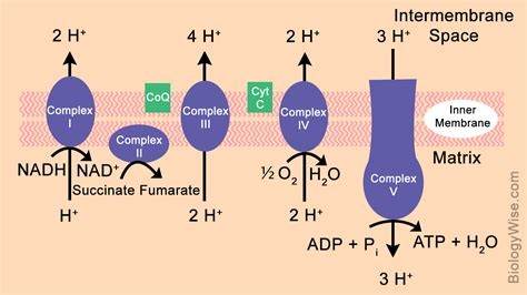 diagram of electron transport electron transport chain steps explained with diagram