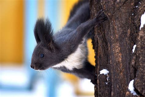 wallpaper squirrel animal winter snow tree eyes