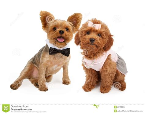 puppy dress up two puppies dressed up for a royalty free stock