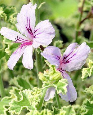 best scented geranium indoors best 25 scented geranium ideas on drawer fragrance sachets plants indoor and