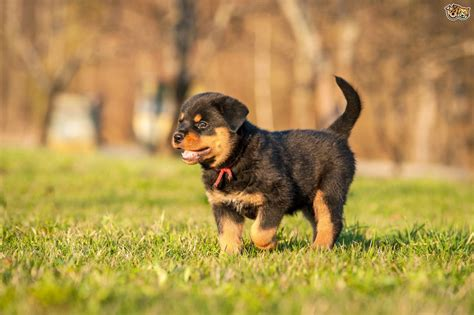 personality of rottweiler five universal personality traits of the rottweiler pets4homes