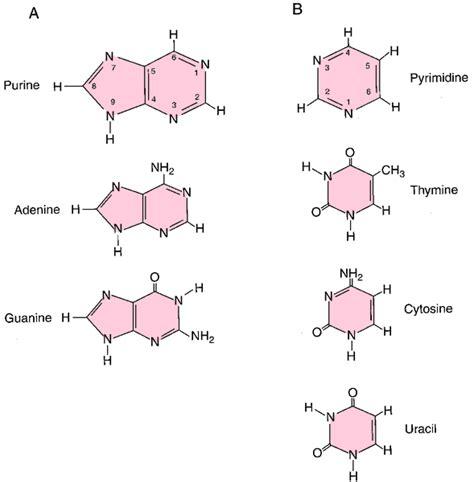 numbering  purines  pyrimidines mcat