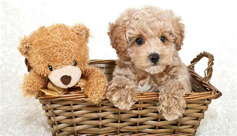 what is a teddy puppy teddy is this the ultimate in cuddly companionship