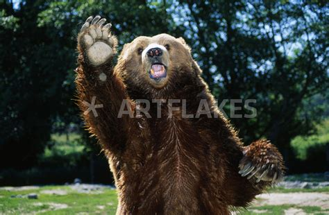 Rechnung Hinf Llig Englisch Quot Grizzly On Hind Legs Quot Picture Prints And Posters By Panoramic Images Artflakes