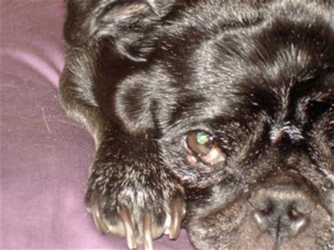 pug eye scratch stye like growth on s lower eyelid