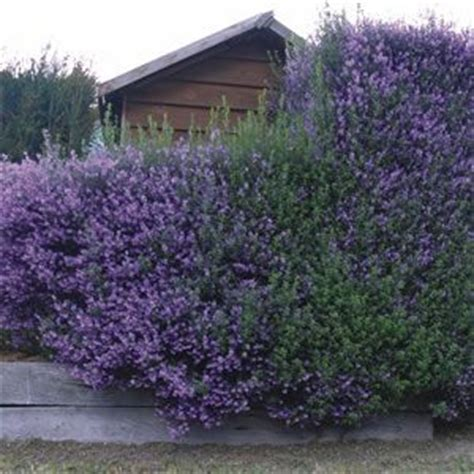 flowering shrubs for clay soil 78 best images about shrubs bushes on