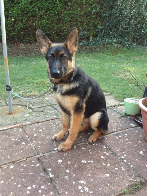 5 month puppy 5 month german shepherd puppy pictures 1001doggy