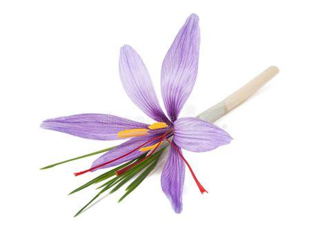 zafferano fiore fiore dello zafferano immagine stock immagine di fiore