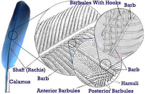 feather diagram feather diagram png 457 215 296 diagrams