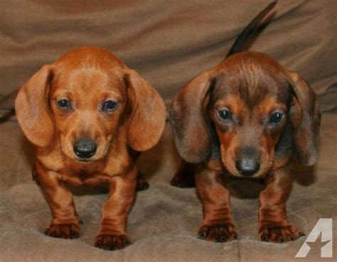 weenie puppies for sale miniature dachshund puppies so weenie dogs for sale in lakeside california