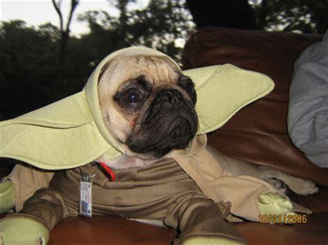 pug dressed as yoda 20 pugs dressed as yoda darth vader