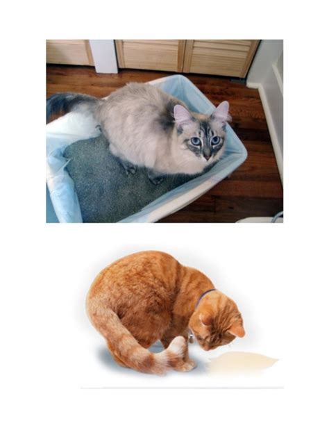 cat urine rug how to get rid of cat urine smell from your home popscreen models picture