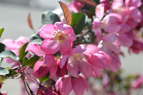flowering shrubs of india indian summer crabapple is a early blooming