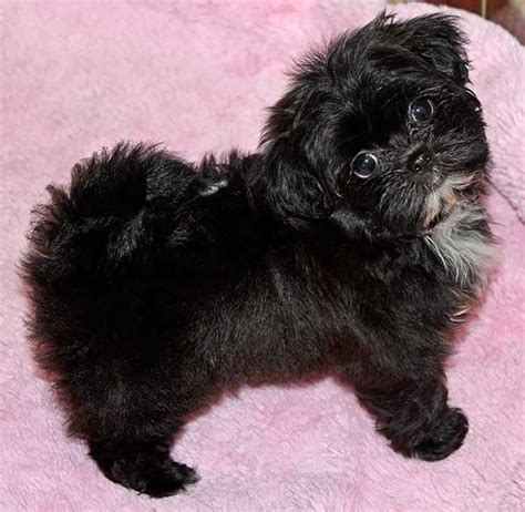shih poo shih poo puppy for sale in boca raton south florida