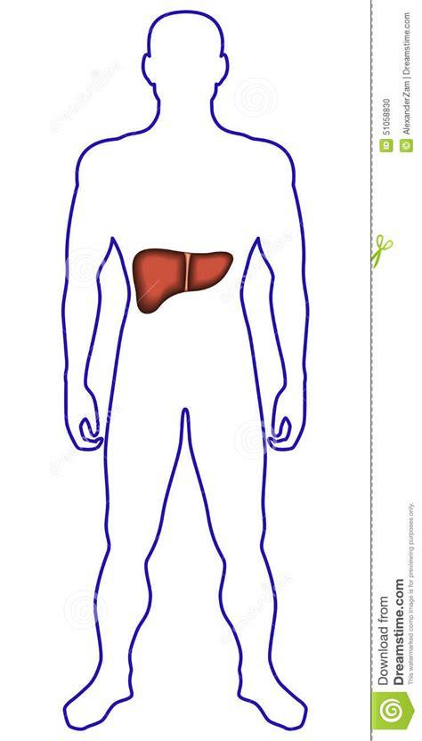 Imagenes Sorprendentes Cuerpo Humano | h 237 gado en cuerpo humano ilustraci 243 n del vector imagen de