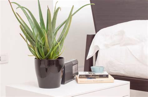 pianta aloe vera in casa l aloe vera la pianta perfetta da coltivare in casa