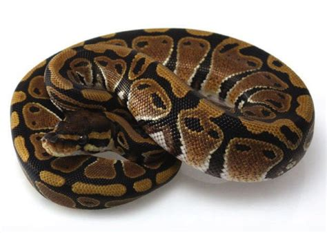 7 Techniques On Caring For A Python by Python Care Sheet Facts Pet Pythons Petco