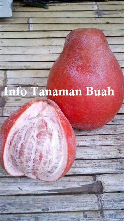 Bibit Jeruk Pamelo Thailand jual bibit pamelo merah jeruk bali merah info tanaman buah