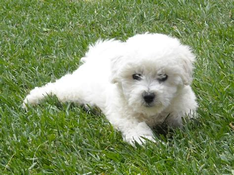 bichon frise puppy cut bichon frise puppy cut pictures breeds picture