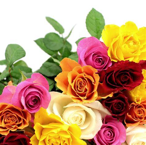 imagenes rosas de colores banco de im 225 genes para ver disfrutar y compartir las