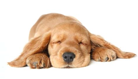 dreaming of puppies what do dogs about and the science of sleep nextgen
