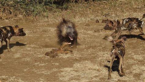 hyena vs dogs and a brown hyena africa geographic