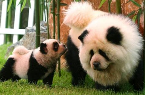 panda puppy transgenic animal center hugh fox iii