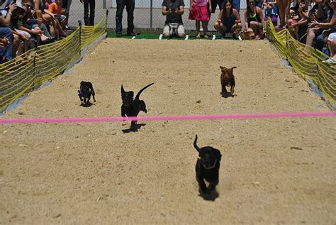 fort collins rescue the 5th annual running of the wieners dachshund race in june