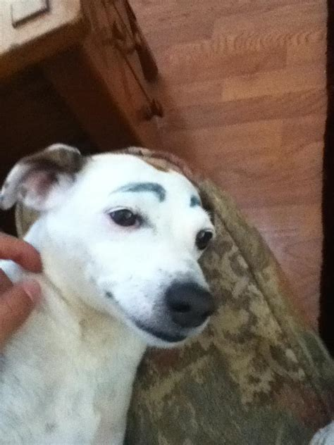 eyebrows on dogs dogs eyebrows and eyebrows on