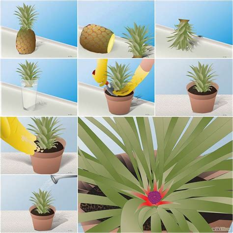 how to a grown diy how to grow pineapple in a plant pot