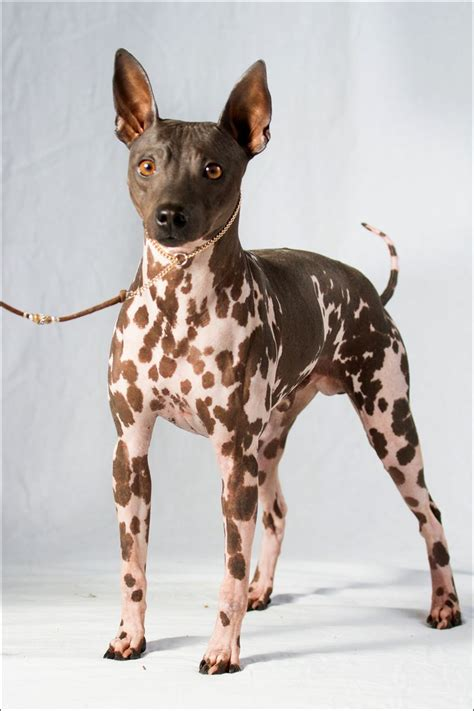 new breeds 2 new breeds join american kennel club s roster toledo blade