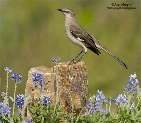 texas northern mockingbird this is my country pinterest