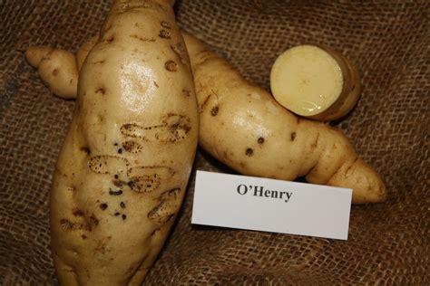 murasaki sweet potato