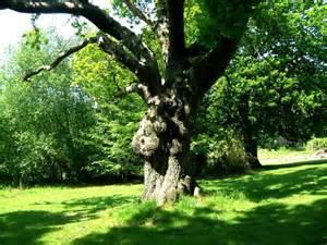 description of a tree file oak tree quercus robur jpg