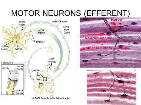 motor efferent ch 35 the nervous system ppt