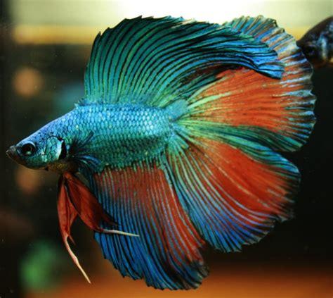Pelet Ikan Gapi Dan Cupang 7 gambar jenis dan cara ternak ikan cupang kang suhe s