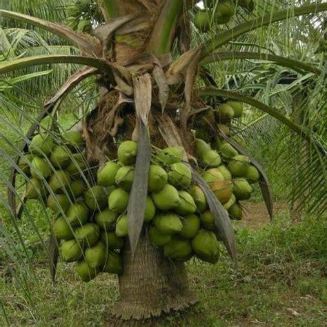 Bibit Kelapa Hibrida Entok bibit kelapa genjah enthok paling cepat berbuah daftar