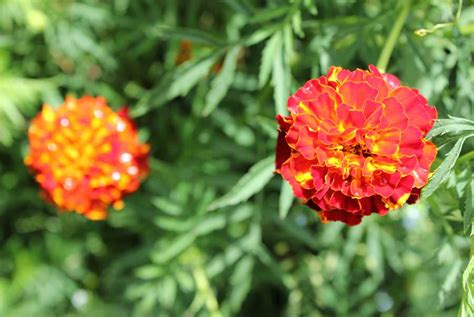 Marigolds Shade by French Marigold Pod Easy Edible Gardening
