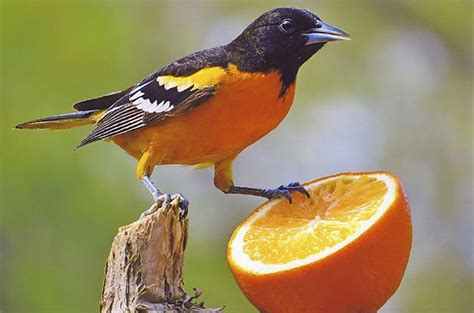 how to attract baltimore orioles to your backyard feeding birds with oranges feeding birds with oranges learn how to successfully