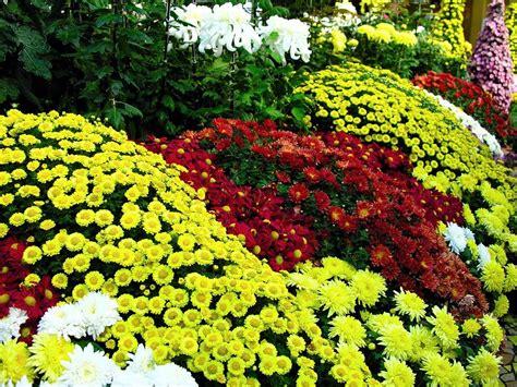 Bunga Seruni by Sopo Panisioan Bunga Seruni Krisan Yang Menawan