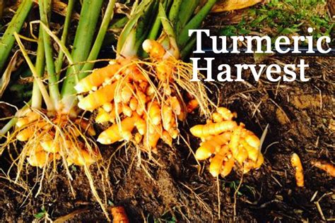 How To Grow Herbs Indoors the ultimate guide to growing ginger amp turmeric why you