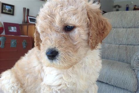 f1b goldendoodle puppies for sale california dogs puppies for sale in ottawa breeds picture