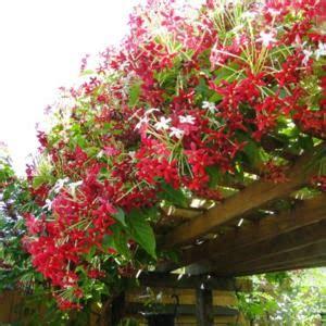 Lu Hias 17 koleksi tanaman hias harumnya bunga melati belanda