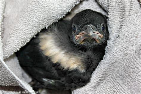 scacciare i gatti dal giardino il piccolo di gazza caduto dal nido erbaviola
