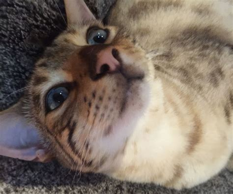 beautiful bengal kittens cats kittens for rehoming beautiful male snow leopard bengal needs rehoming