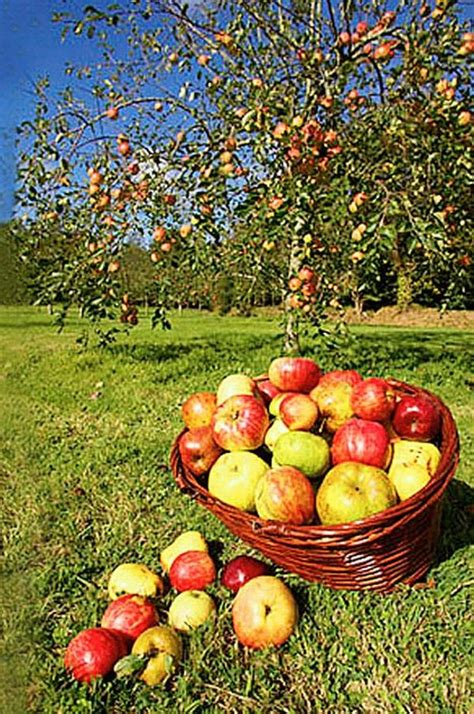 apple orchard the bounty of community orchards community food systems
